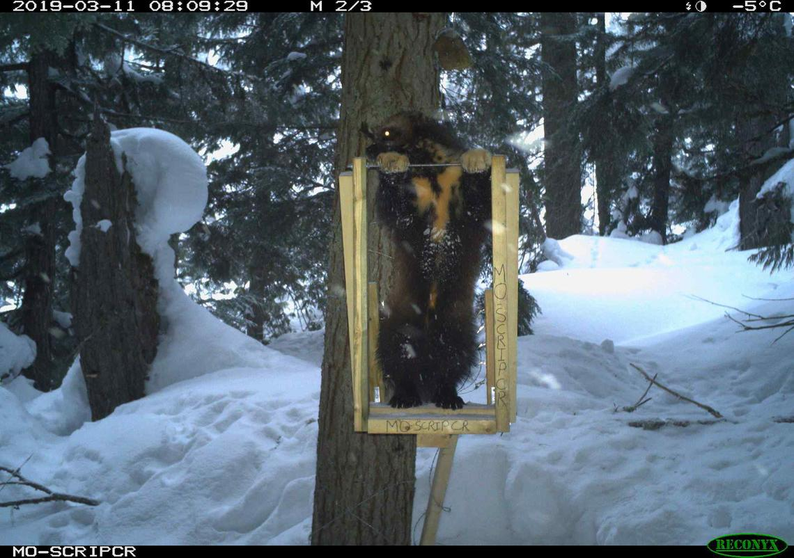 Wolverine at a bait station