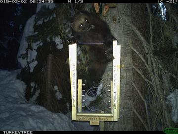 A big male wolverine at a bait station.
