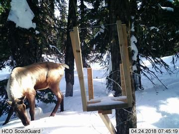 A caribou visits the bait station.