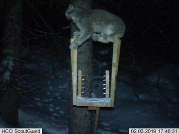 A lynx visits the bait station.