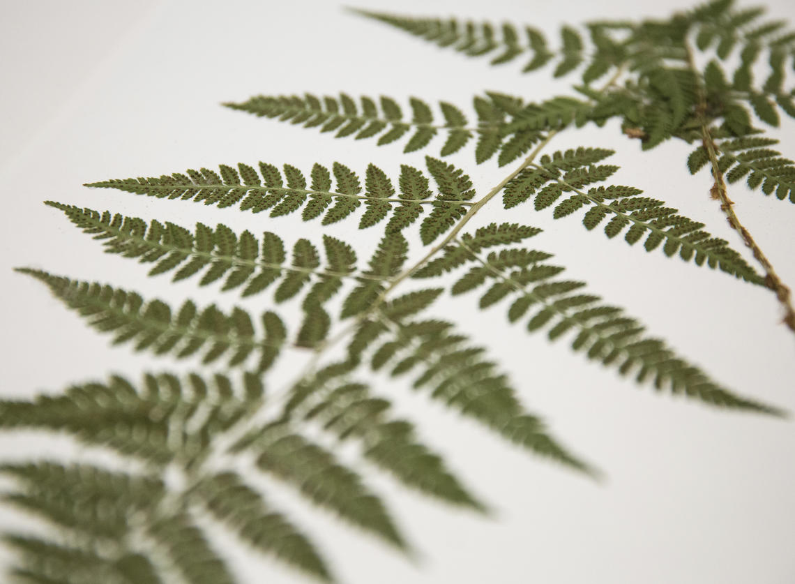 Fern sample.