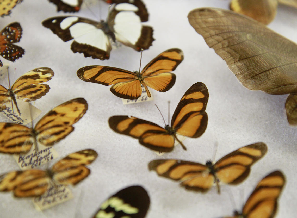 Butterfly specimens.