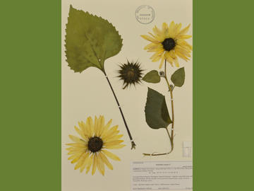 Annual sunflower (Asteraceae). Collected by Ian D. MacDonald, 10 Aug 2013.