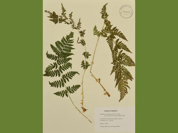(Dryopteris carthusiana). Collected by Kathleen Wilkinson and Cheryl Bradley, 7 Aug 1993.